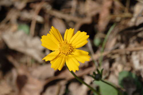 Coreopsis auriculata #5