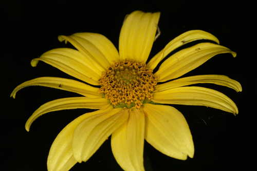 Heliopsis helianthoides #9