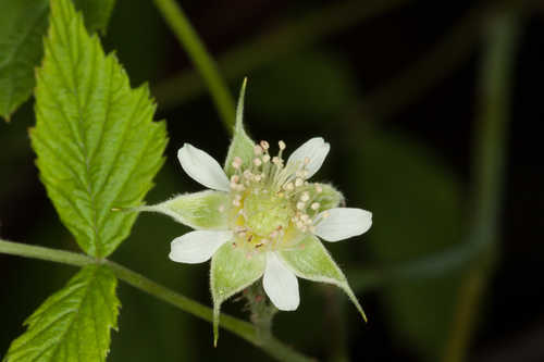 Rubus occidentalis #2
