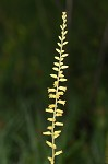 Yellow colicroot