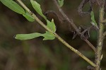 Lanceleaf ragweed