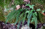 Blackstem spleenwort