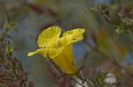 Combleaf yellow false foxglove