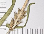 Eastern narrowleaf sedge