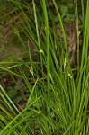 James's sedge