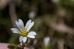 Doubtful chickweed