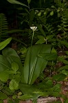 Speckled wood-lily&nbsp;<BR>White clintonia