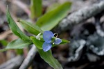 Common dayflower