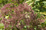Coastal plain joe pye weed
