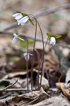 Sharplobe hepatica
