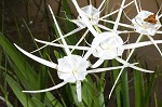 Gholson's spider-lily