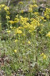 Butterweed
