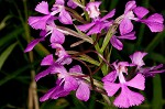 Purple fringless orchid