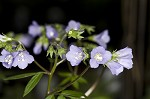 Greek valerian&nbsp;<BR>Jacob's ladder