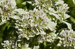 Clustered mountainmint