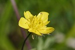 Early buttercup